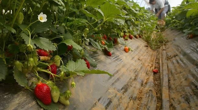 Jardin Bretagne: Les fraises de Plougastel veulent une IGP pour se protéger