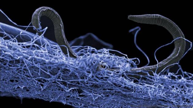 Animaux Les secrets du «ver démoniaque» découvert dans les entrailles de la Terre