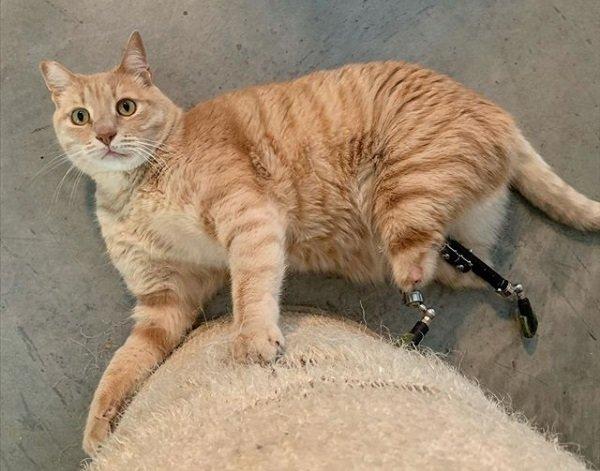 Animaux Le chat bionique Vito se montre sur les réseaux sociaux