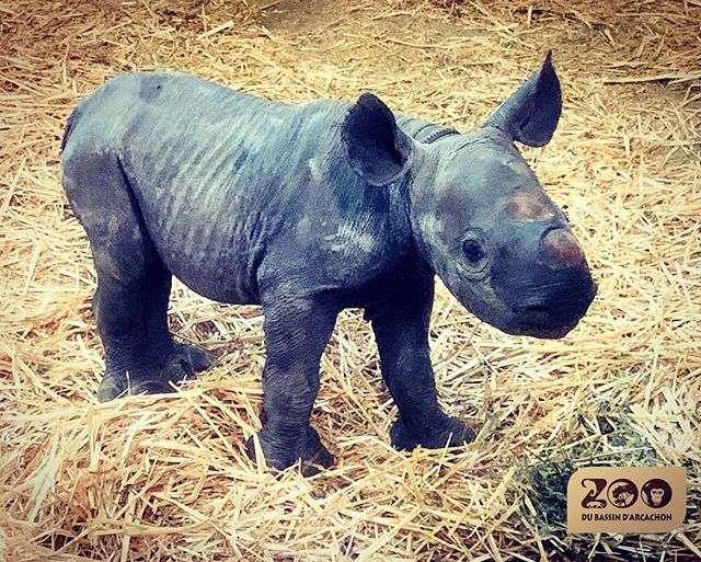 Bebe Un rhinocéros noir naît pour la première fois en France