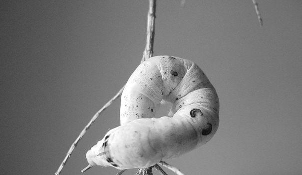 Ecole Sericyne fait revivre la filière de la soie en France