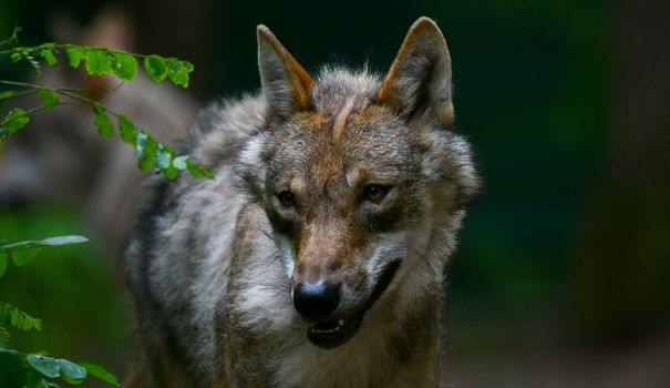 Jardin Belgique : un loup vagabond soupçonné d'avoir mangé un kangourou