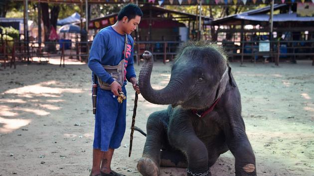 Animaux Custom devenue appeal touristique, les éléphants de Thaïlande en quête d'avenir
