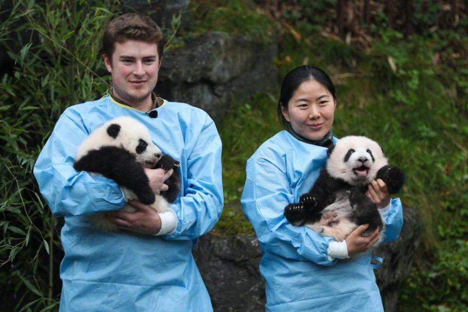 Bebe Pairi Daiza nommé dans cinq catégories aux « Wide Panda Global Awards »