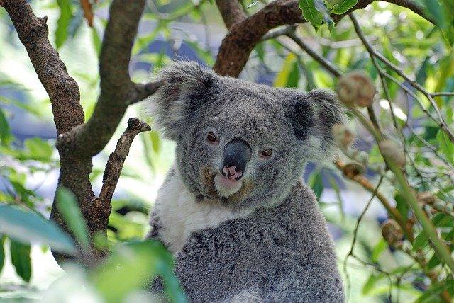Jouets Un gode koala pour sauver l'Australie, la folle idée de Geeky Sex Toys
